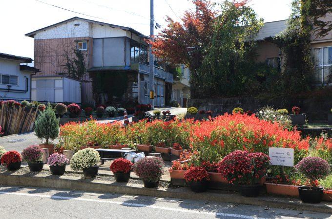 ミニ公園ドーム菊
