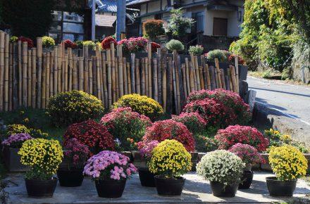 新ミニ公園ドーム菊